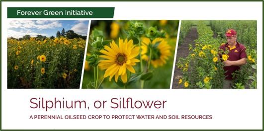 silphium factsheet front page image