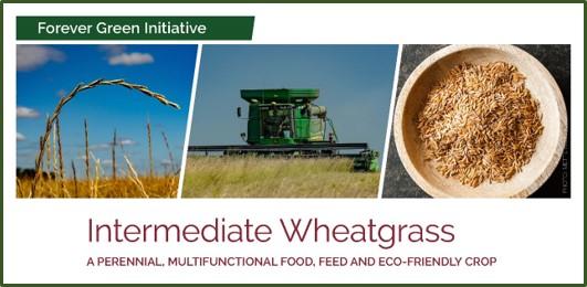 intermediate wheatgrass factsheet front page image