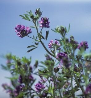 alfalfa in flower