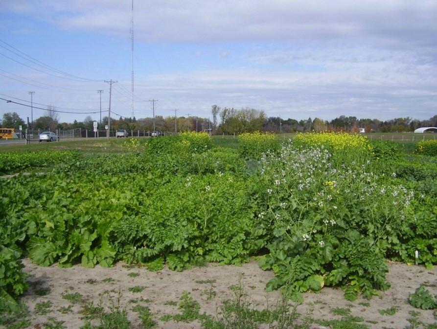 brassica cover crops