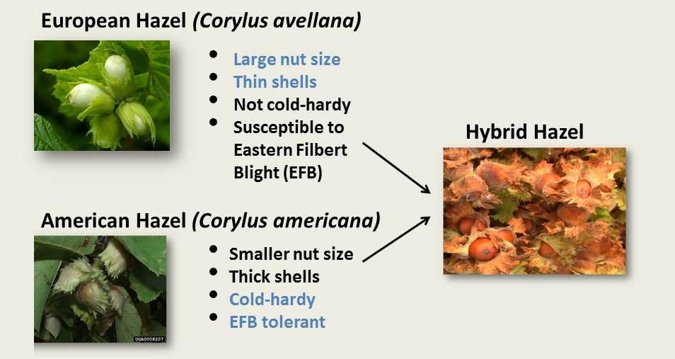 hazelnut hybridization
