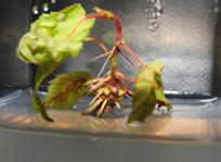 hazelnut microprogagation photo by Jerry Cohen