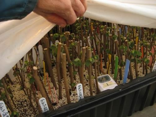 hazelnut hardwood stem cuttings