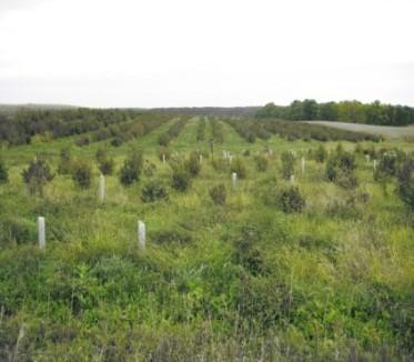 hazelnut rows and new planting