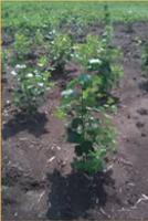 hybrid poplar accessions