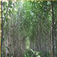 hybrid poplar plantation